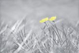 Yellow Buttercups Fotografie-Druck von Adrian Campfield