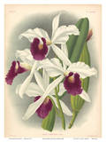Laelia Orchid (Laelia Purpurata Lindi) - Book Plate 282 from Lindenia Iconographie des Orchidées Prints by Jean Jules Linden