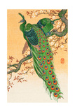 Peacock and Peahen on Branch Giclee Print by Koson Ohara