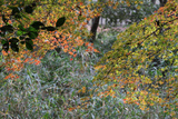The Sprout of the Autumnal Leaves of Kyoto Photographic Print by Ryuji Adachi