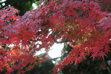 The Autumnal Leaves Which Shine Crimson Photographic Print by Ryuji Adachi