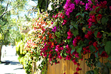 Bougainvillea on the Wall Photographic Print by Steve Ash