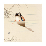Diving Mallard Giclee Print by Koson Ohara