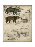 Non-Embellished Species of Bear Premium Giclee Print