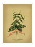 Herb Series IV Print