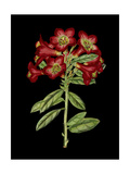 Crimson Flowers on Black IV Art