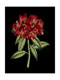 Crimson Flowers on Black II Posters