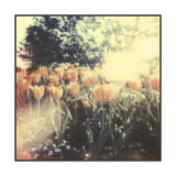 Tulipa Exposta II Prints by Jason Johnson