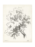 Oak Tree Study Reprodukce