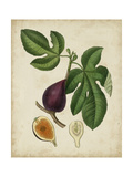 Non-Embellished Antique Fig Tree Premium Giclee Print by  Weddell