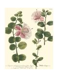 Weinmann, Pl. 303 Premium Giclee Print