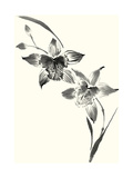 Studies in Ink - Cymbidium Print by Nan Rae