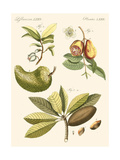 Small Bertuch Breadfruit Print by  Bertuch