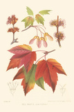 Red Maple Premium Giclee Print by  Sprague