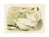 American Swan Premium Giclee Print
