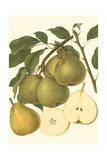 Pear Varieties II Poster by  Vision Studio