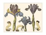 Custom Iris in Bloom II Premium Giclee Print by  Langlois