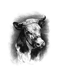 Antique Cattle I Print