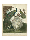 Peacock Gathering Prints by Sydenham Teast Edwards