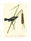 Audubon's Blackbird Poster
