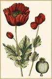 Small Poppy Blooms I Kunstdrucke von Elizabeth Blackwell