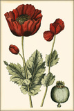 Small Poppy Blooms I Giclee Print by Elizabeth Blackwell