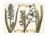Custom Hyacinth in Bloom Premium Giclee Print by  Langlois
