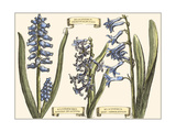 Small Hyacinth in Bloom Premium Giclee Print by  Langlois