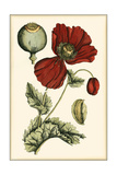 Small Poppy Blooms II Premium Giclee Print by Elizabeth Blackwell
