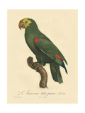Small Barraband Parrot PL 86 Stampe