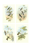 Miniature Gould Hummingbirds Print