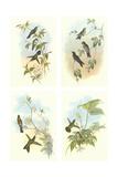 Miniature Gould Hummingbirds Premium Giclee Print