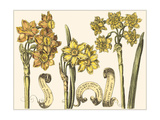 Custom Narcissus in Bloom I Prints by  Langlois