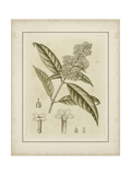 Small Tinted Botanical II Premium Giclee Print by Samuel Curtis