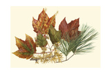 Small Red Maple, Tamarack and White Pine Prints by  Denton