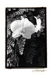 Striking Orchids I Poster by Laura Denardo