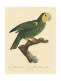 Small Barraband Parrot PL 98 Poster