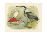 Heron and Ibis Prints