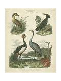 Heron and Crane Species II Giclee Print by Sydenham Teast Edwards