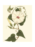 Blossoming Vine I Print by Sydenham Teast Edwards