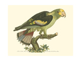 Black-Winged Parakeet Art