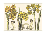 Small Narcissus in Bloom I Prints by  Langlois