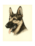 Danchin German Shepard Prints by  Danchin