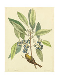 Catesby Bird and Botanical V Kunstdrucke von Mark Catesby