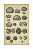 Study of Shells III Prints by  Chambers