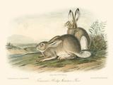 Lièvre des Montagnes Rocheuses Affiches par John James Audubon