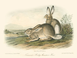 Rocky Mountain Hare Premium Giclee Print by John James Audubon
