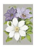 Clematis Blooms II Posters by  Pannemaeker