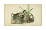 Audubon Green Heron Prints by John James Audubon