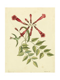 Catesby Bird and Botanical VI Prints by Mark Catesby